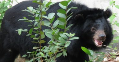 Bear at Hanoi Wildlife Rescue Center, Soc Son, Vietnam