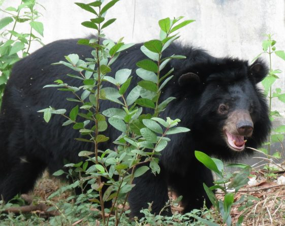 Bear at Hanoi Wildlife Rescue Center, Soc Son, Vietnam