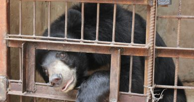 Bear on a bear bile farm in Vietnam