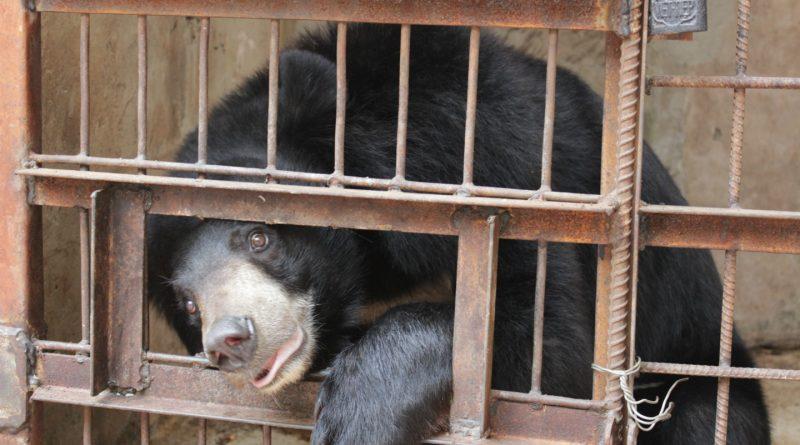 Bear on a bear bile farm in Vietnam
