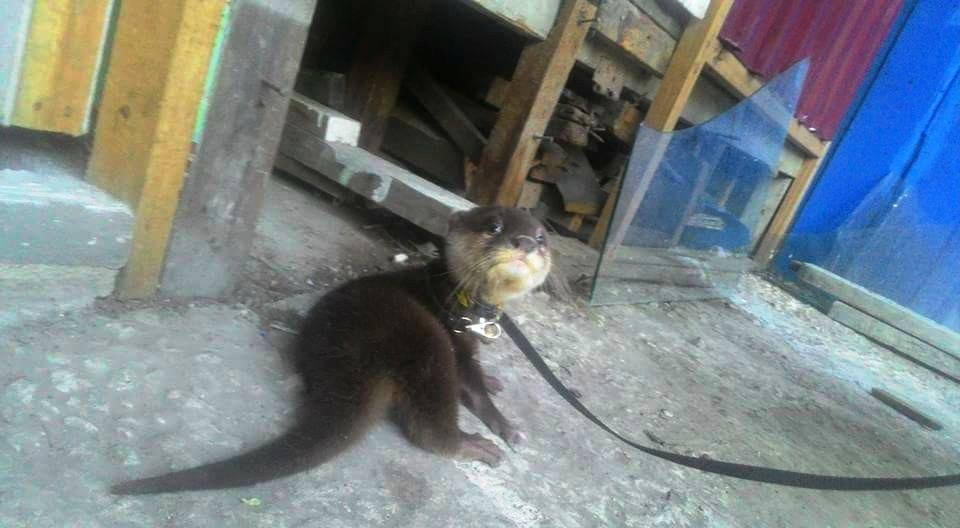 A chained otter