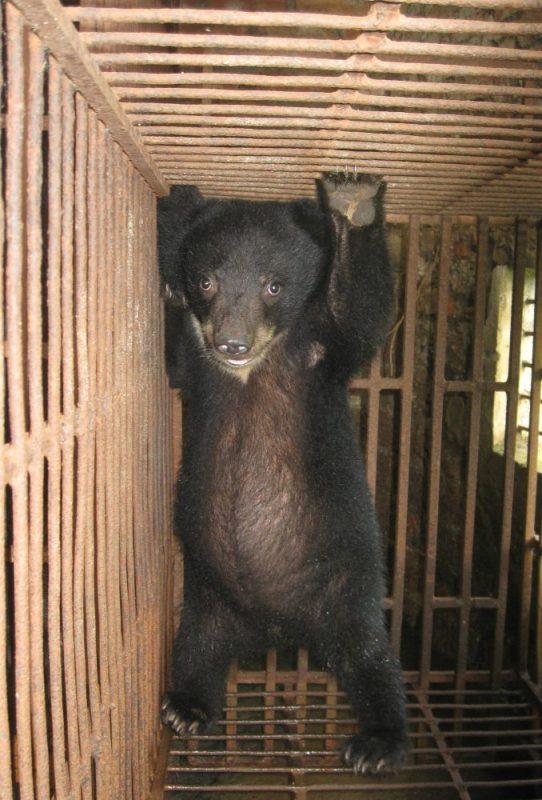 Bear cub in bear farming hotspot Phuc Tho, Vietnam