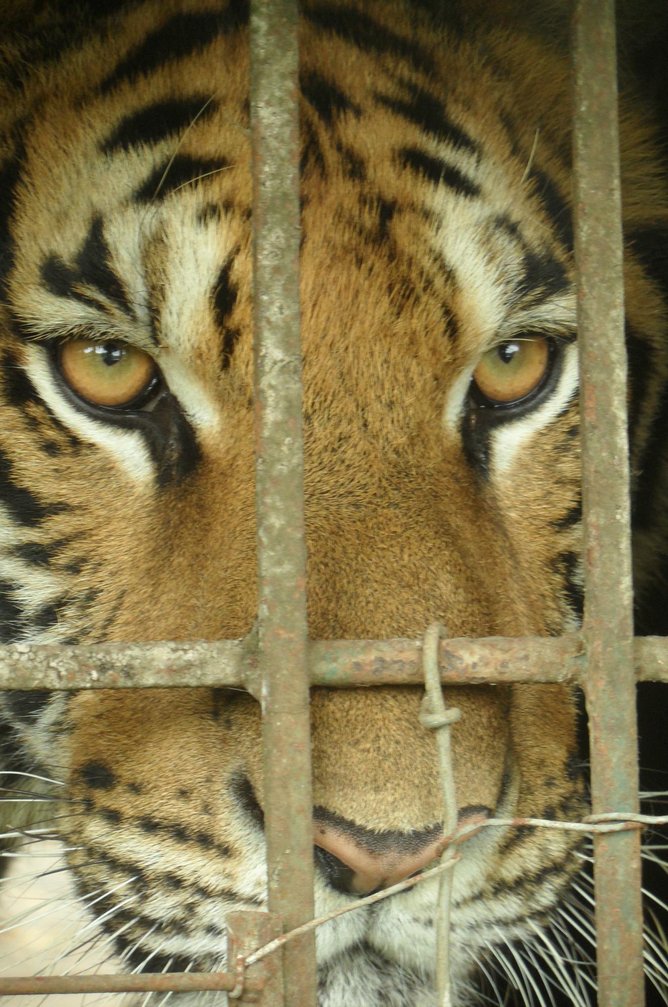Tigers #tigerbones