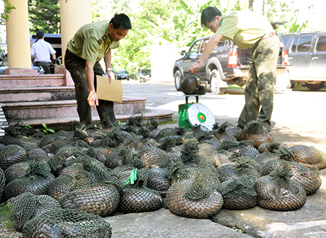 Live pangolins being transferred to a rescue center near Hanoi, Vietnam