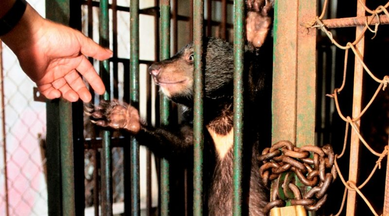 Bear farm, Vietnam